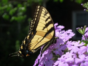 Virginia Master Naturalist Mascot, the Eastern Tiger Swallowtail