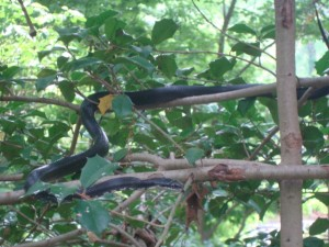 Rat Snake in the holly