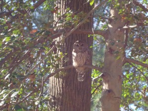 Laura's Barred Owl