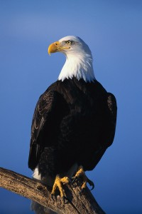 Bald Eagle Perched on Tree Limb